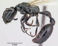 Image of <i>Tetraponera nigra</i> (Jerdon 1851)