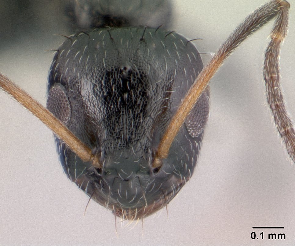 Image of <i>Lepisiota capensis</i> (Mayr 1862)