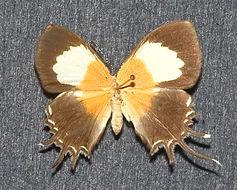 Image of <i>Helicopis gnidus</i> Fabricius 1787