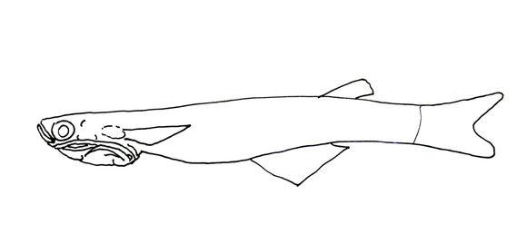 Image of phallostedhid priapriumfishes