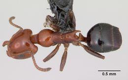 Image of <i>Froggattella kirbii</i> (Lowne 1865)