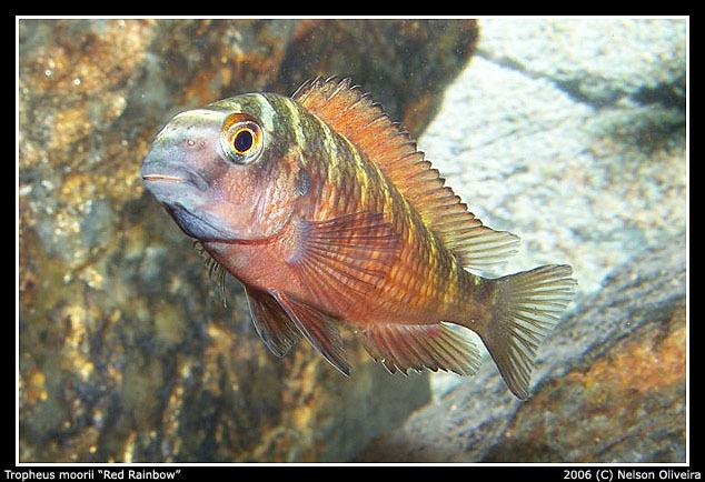Image of <i>Tropheus moorii</i>
