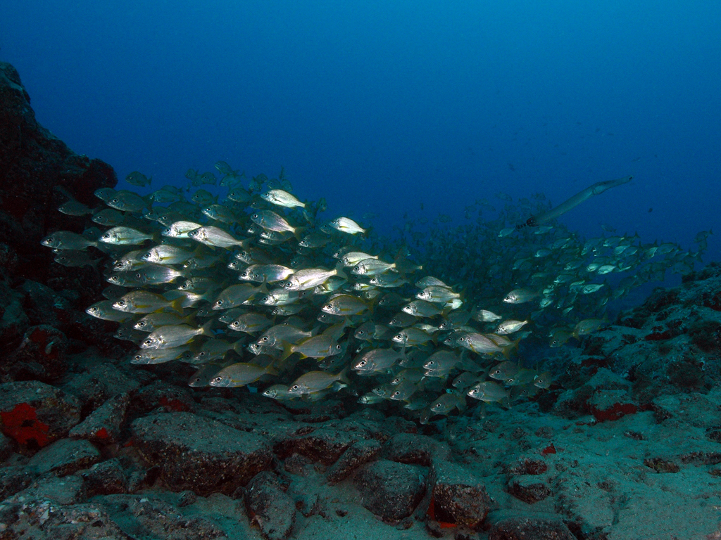 Image of Atlantic cornetfish