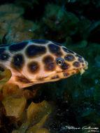 Image of Leopard Eel