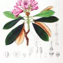 Image of <i>Rhododendron degronianum</i>