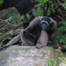 Image of Bornean Gibbon