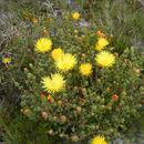 Image of <i>Lampranthus glaucus</i> (L.) N. E. Br.