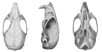 Image of Marsh Oryzomys