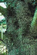 Image of <i>Adelges</i> (<i>Dreyfusia</i>) <i>piceae</i> (Ratzeburg 1844)