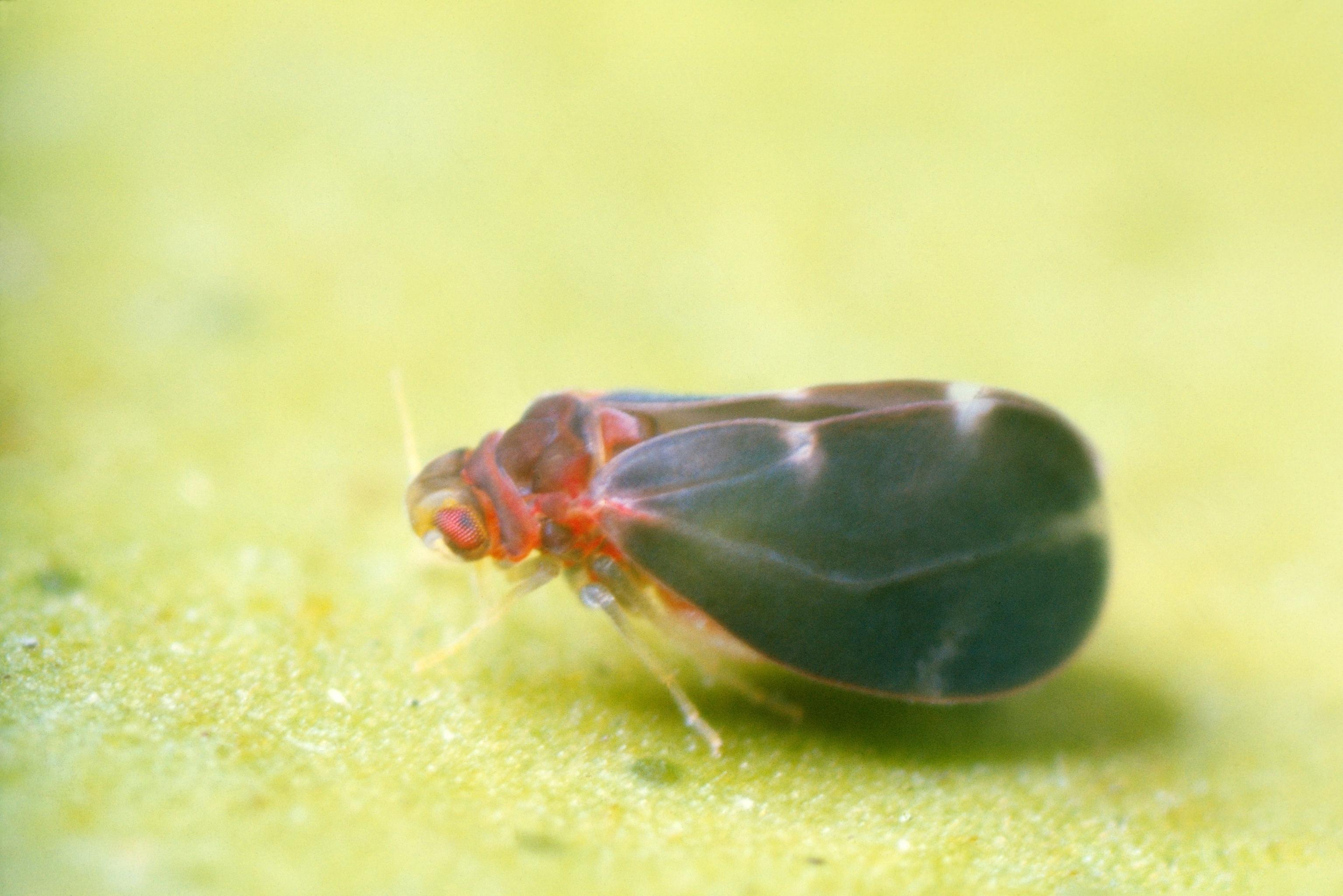 Image of Citrus blackfly