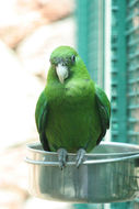 Image of Purple-bellied parrot