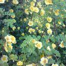 Image of <i>Rosa foetida</i> J. Herrm.