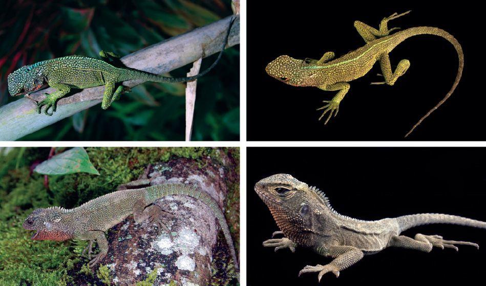 Image of <i>Enyalioides rubrigularis</i> Torres-carvajal, De Queiroz & Etheridge 2009