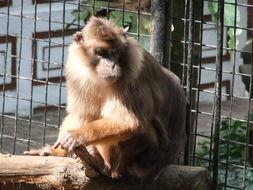 Image of Mentawai macaque