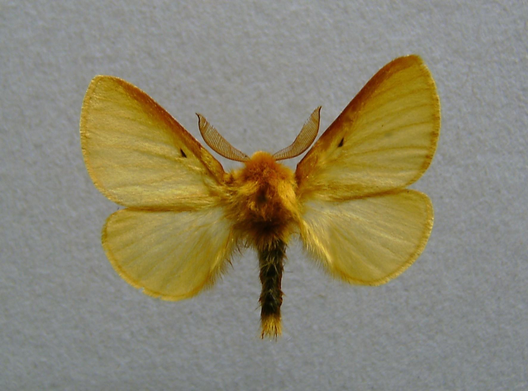 Image of autumn silkworm moth
