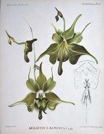 Image of <i>Aeranthes ramosa</i> Rolfe