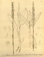 Image of zeuxine