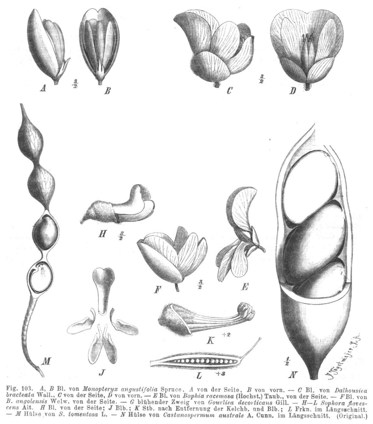 Image of Sophoreae