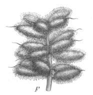 Image of Chinese licorice