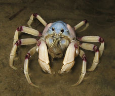 Image of Light-blue Soldier Crab