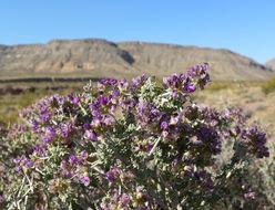Image of Nevada dalea