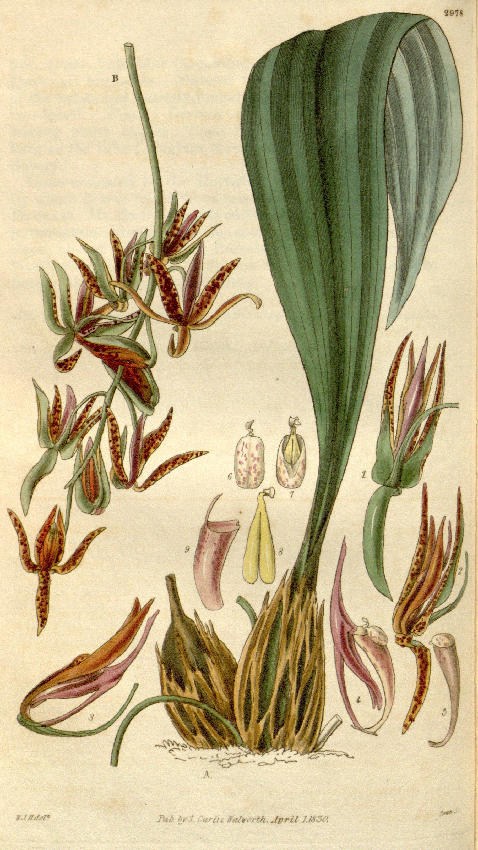 Image of <i>Cirrhaea dependens</i> (G. Lodd.) G. Don