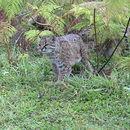 Image of Chilean Cat