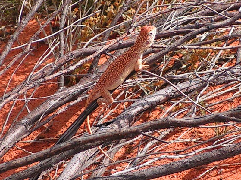Image of Western netted dragon