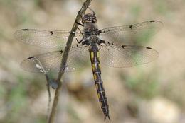 Image of Dot-winged Baskettail