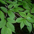 Image of <i>Ilex montana</i> Torr. & A. Gray