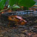 Image of False Tomato Frog