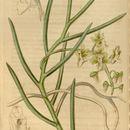 Image of <i>Cleisostoma simondii</i> (Gagnep.) Seidenf.