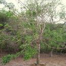 Image of <i>Erythrina sacleuxii</i> Hua