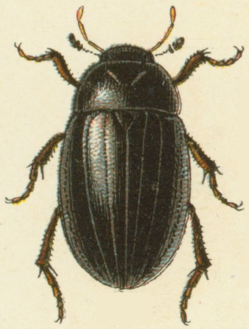 Image of Lesser silver water beetle