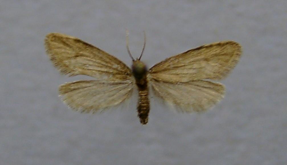 Image of <i>Taleporia tubulosa</i> Retzius 1783