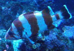 Image of Flag rockfish