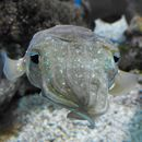 Image of Pharaoh Cuttlefish