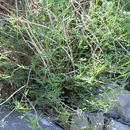 Image of Searls' prairie clover