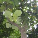 Image of <i>Macaranga gigantea</i> (Rchb. fil. & Zoll.) Müll. Arg.
