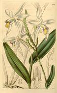 Image of <i>Bromheadia finlaysoniana</i> (Lindl.) Miq.