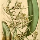 Image of Spotted Spider Orchid
