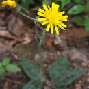 Image of spotted hawkweed