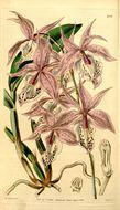 Image of <i>Barkeria spectabilis</i> Bateman ex Lindl.