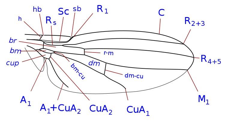 Image of Australimyzidae