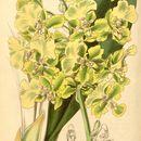 Image of <i>Trichocentrum bicallosum</i> (Lindl.) M. W. Chase & N. H. Williams