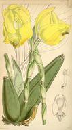 Image of <i>Anguloa clowesii</i> Lindl.