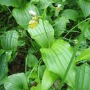 Image of Spotted lady slipper