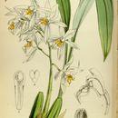 Image of <i>Coelogyne nitida</i> (Wall. ex D. Don) Lindl.
