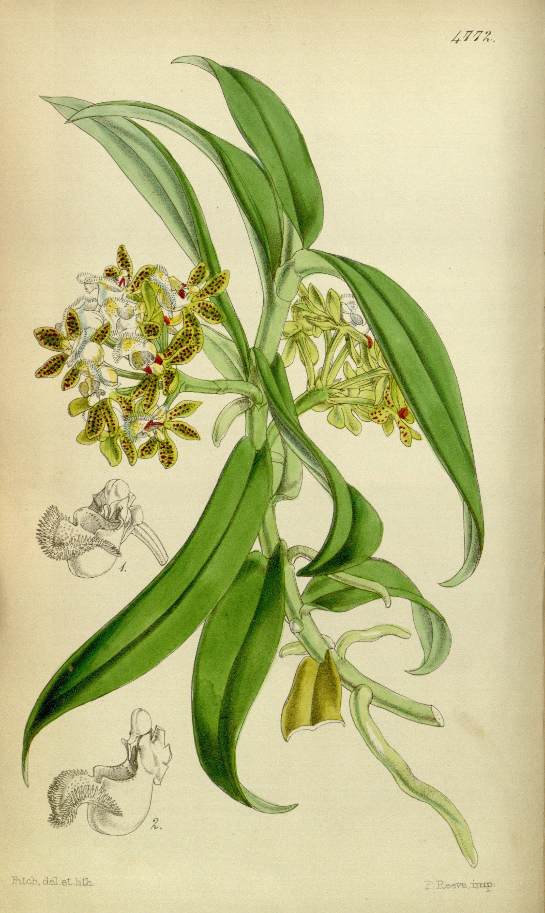 Image of <i>Gastrochilus acutifolius</i> (Lindl.) Kuntze
