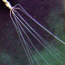 Image of Bigfin squid